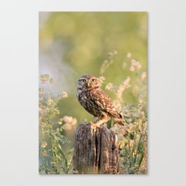 Little Owl at Sunrise Canvas Print