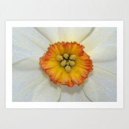 White Daffodil Art Print
