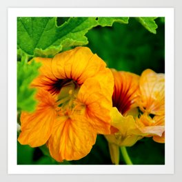 yellow majus flower Art Print