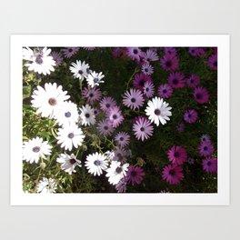 White & pink daisies Art Print