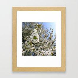 White Blossoms, Springtime Framed Art Print