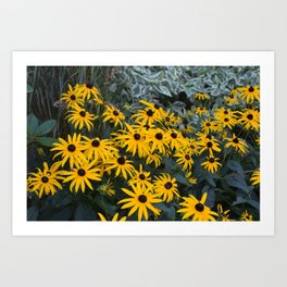 Black Eyed Susans in Bloom Art Print