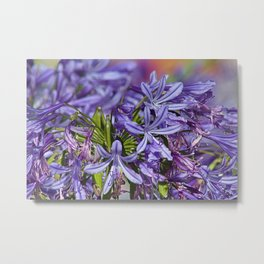 Agapanthus Lily of the Nile Flower Metal Print