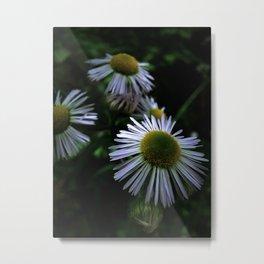 Daisy Fleabane 1 Metal Print