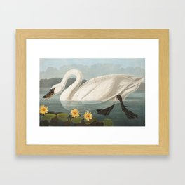 Common American Swan by John James Audubon Framed Art Print