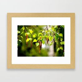 The birch leaves and catkins Framed Art Print