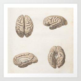 Brain anatomy Art Print