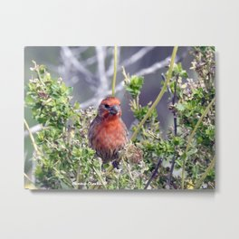 Handsome Male House Finch Metal Print