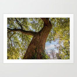 An old crooked oak tree Art Print