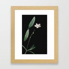 Moehringia lateriflora Framed Art Print