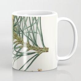 Scots pine (Pinus sylvestris)  from Medical Botany (1836) by John Stephenson and James Morss Churchi Coffee Mug