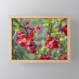 Red Quince Blossoms Framed Mini Art Print