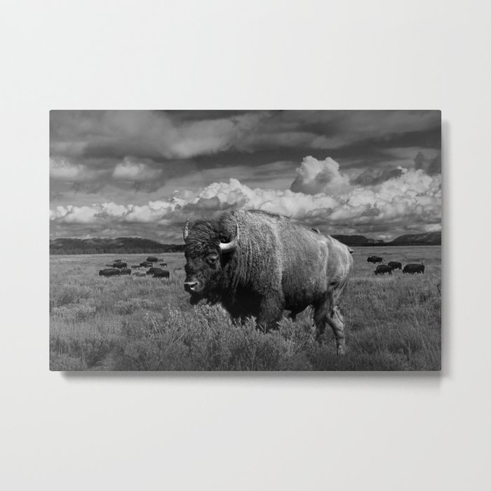 American Buffalo Bison in the Grand Teton National Park in Black and White Metal Print