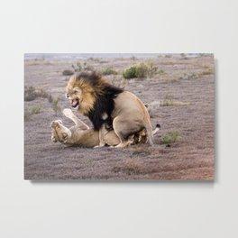Lions mating in African savannah Metal Print