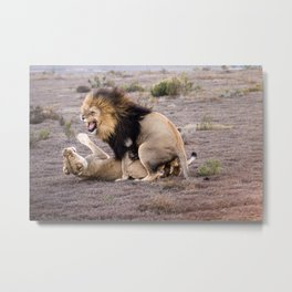 Lions mating in African savannah Metal Print