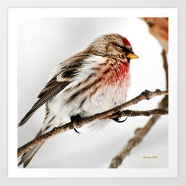 Common Redpoll Bird Art Print