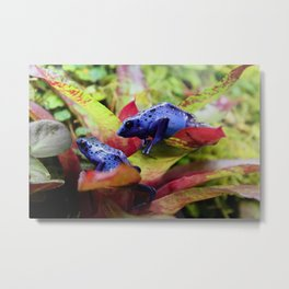 Blue Poison Dart Frogs (Dendrobates Azureus) Metal Print