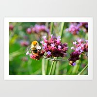 Carder Bumble Bee on Verbena Art Print