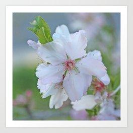 Almond tree flower blooming Art Print