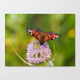 Peacock Butterfly on a Teasel Flower 1 Canvas Print