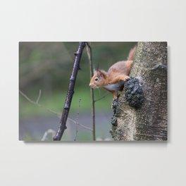 Red Squirrel 2 Metal Print