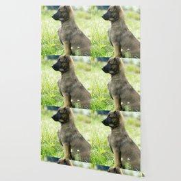 Cute Malinoi shepherd 8 weeks old Wallpaper