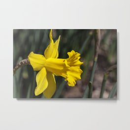 Daffodil 3 Metal Print