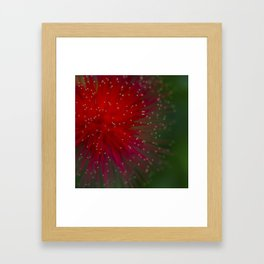 Macro photograph of the Calliandra flower. Framed Art Print