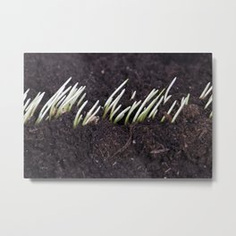 one row of sprouted grain Metal Print