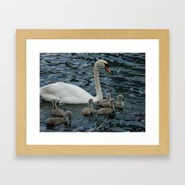 Mute Swan & Cygnets Framed Art Print