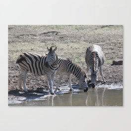 Zebra at the watering hole Canvas Print