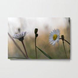 Sunset daisy flowers Metal Print