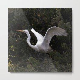 Fledgling Egret Stretching Wings Metal Print