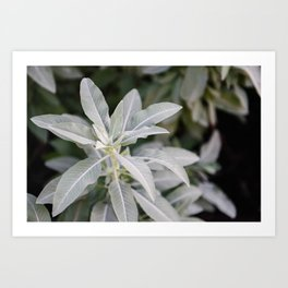 Botanical Photo II | Salvia Apiana Plant | USA | Photography | Green | Minimalistic | Art Print Art Print