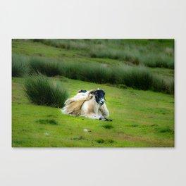 Wind sheared Sheep Canvas Print