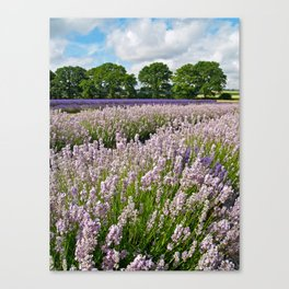 Hampshire Lavender Canvas Print