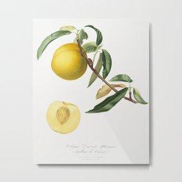 Peach (Prunus persica) from Pomona Italiana (1817 - 1839) by Giorgio Gallesio (1772-1839) Metal Print