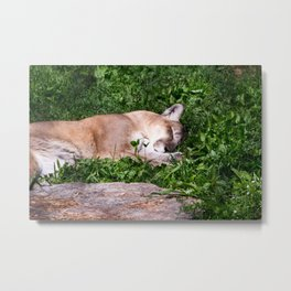 Mountain Lion Napping Metal Print