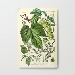 Humulus lupulus (common hop or hops) - Vintage botanical illustration Metal Print