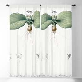 Massonia pustulata  from Les liliacees (1805) by Pierre Joseph Redoute (1759-1840) Blackout Curtain