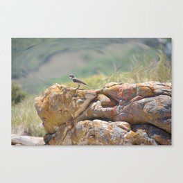 Cape Wagtail Canvas Print