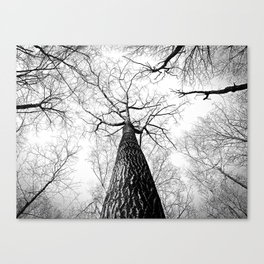 High in the Sky- Photo of top of tree from ground looking up Canvas Print