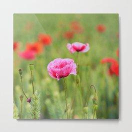 Poppy, Poppies, Mohn, Mohnblume, Flower, Blume, Blumen, Mohnblumen, Foto Metal Print