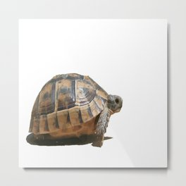 Sideview of A Walking Turkish Tortoise Isolated Metal Print