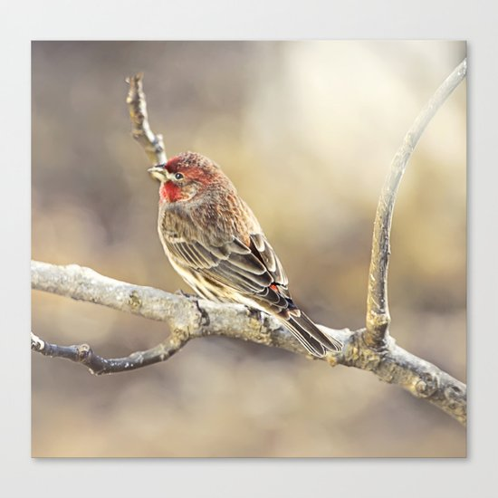 Rosy Little Finch Canvas Print