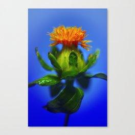 Safflower with blue background Canvas Print