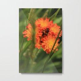 Orange Hawkweed Wildflowers Metal Print