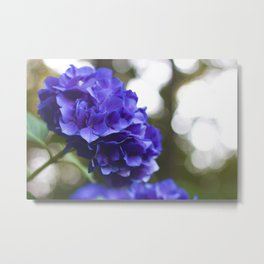 Evening Hydrangea Metal Print
