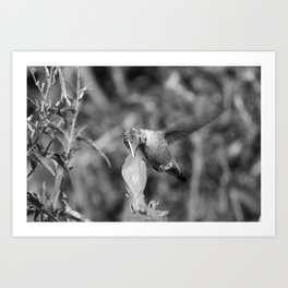 Hummingbird and the Flower- Black and White Art Print