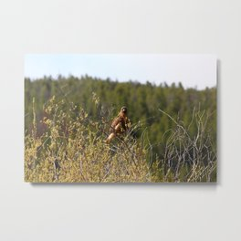 Red-tailed Hawk in the Tetons Metal Print